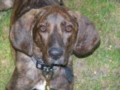 Journey the Plott Hound