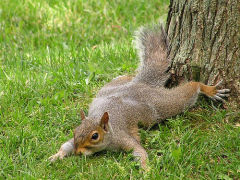 Squirrel stretched out!