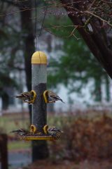 Finches Enjoy January Thaw