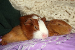 Sleepy Guinea Pigs