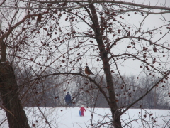 Even Robins love sled riding.