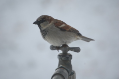 A common sparrow