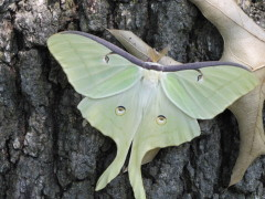 Luna Moth on leaf