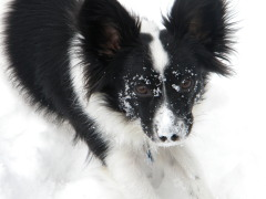 My papillion enjoying the winter