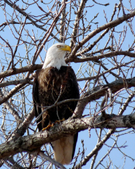 Eagle Along The Illinois River