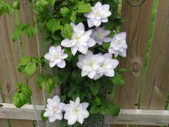 Clematis in June