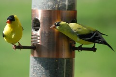 FINCHES EATING SUNFLOWER SEED