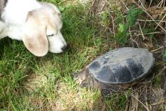 Turtle vs. Beagle