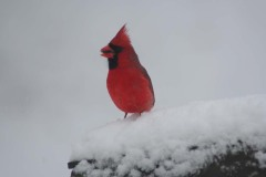 Cardinal with seed at Feeder in snow