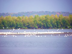 Pelicans enjoy a little fall color