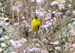 Signs of Spring-Goldfinch in Cherry Tree