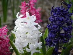 Hyacinths showy colors!