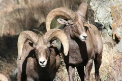 A pair of Big Horn Sheep