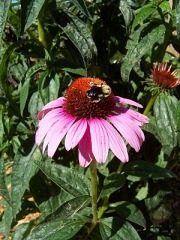 Busy bee rests on a coneflower