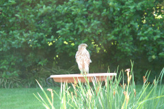 Hawk checking out the menu at birdbath