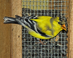 GOLD FINCH TURNING BRIGHT YELLOW