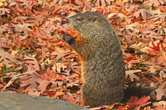 Ground Hog Fattening Up For Winter!