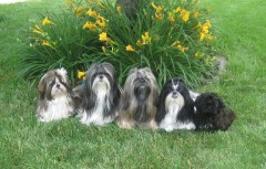 Five little Shih Tzus