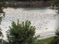 American White Pelicans Migrating