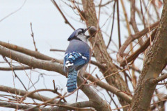 Blue Jay still eating acorns,