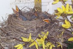 House Robin Chicks