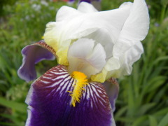 Iris showing it's colors