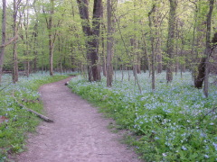 Virginia Bluebells at Starved Rock