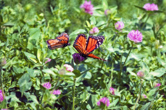 Pair of Monarch Butterflys