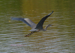 Heron In Flight On A Clear Day