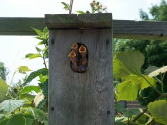wrens in the grape arbor