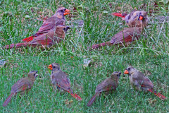 Cardinal collage with its young