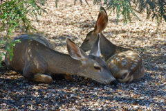 Mother and Baby Mule Deer
