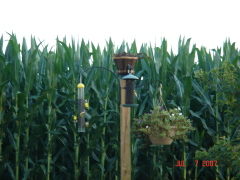 Gold Finches and Corn