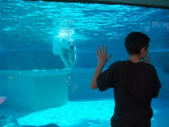 Polar Bear swims towards boy