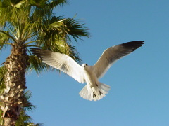 Texas Sea Gull