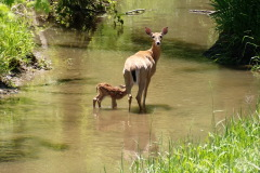 Newborn Fawn and Mother Deer near Canton